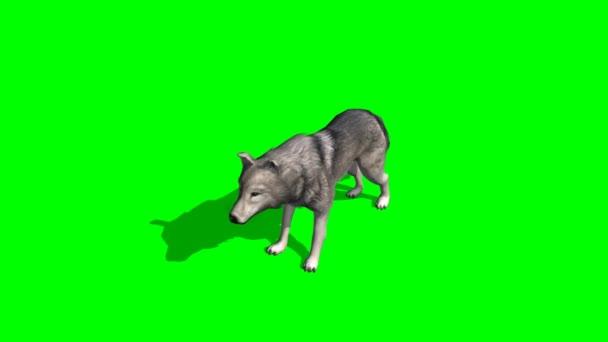 Wolf looking around on green background