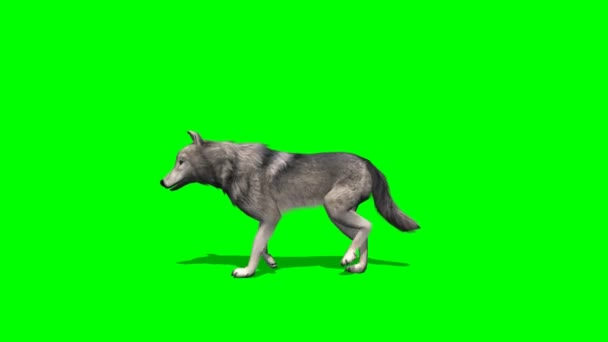 Wolf walking on green background