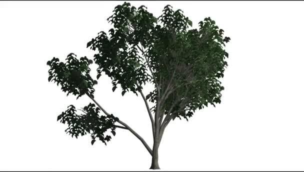 Mladý olej strom