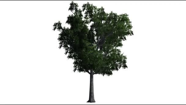 fiatal tölgyfa