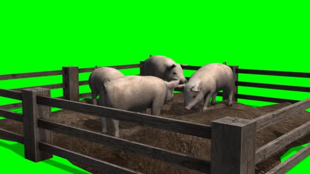 Pigs behind wooden fence