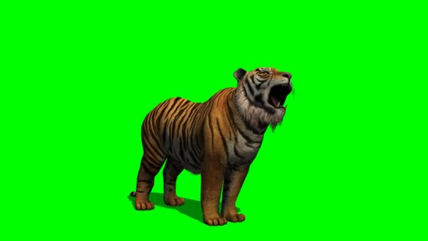 Tiger howling on green screen