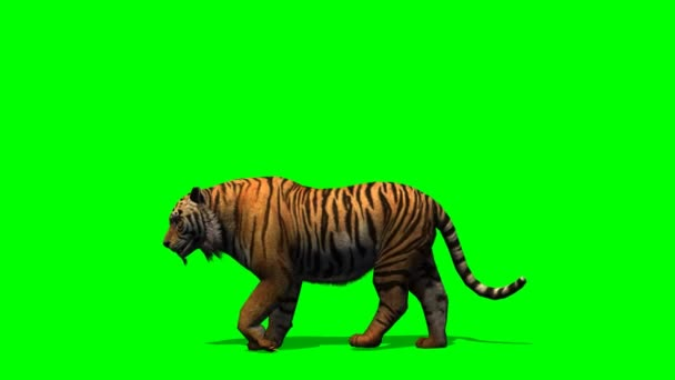 Tiger walking on green screen