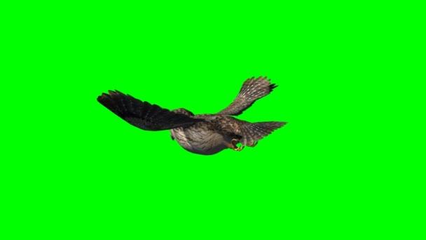 Owl in glide flight