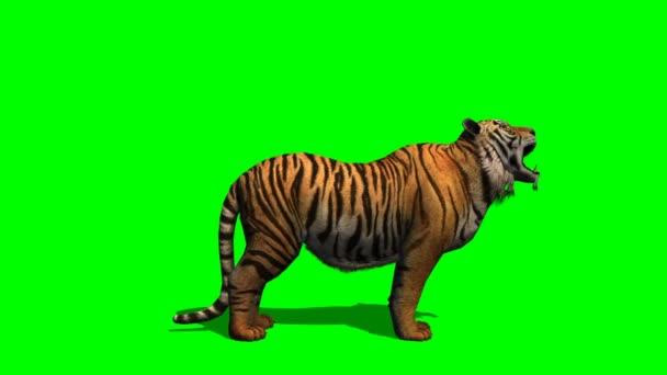 Tigris üvöltött a zöld képernyő