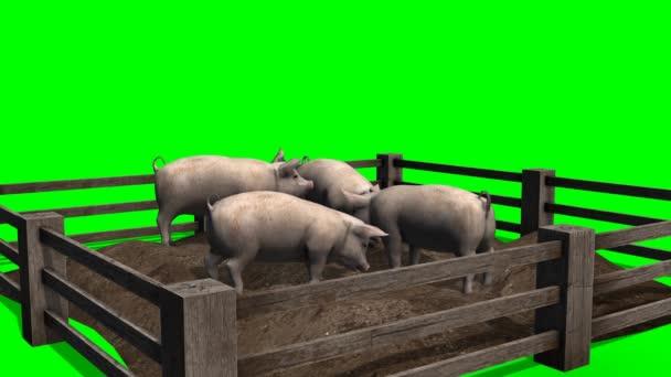 Schweine hinter Holzzaun