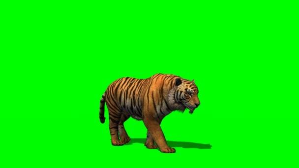 Tigris séta a zöld képernyőn