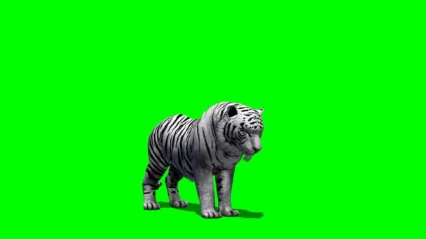 Fehér tigris eszik