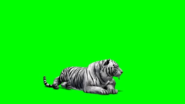 Tiger lying on green screen