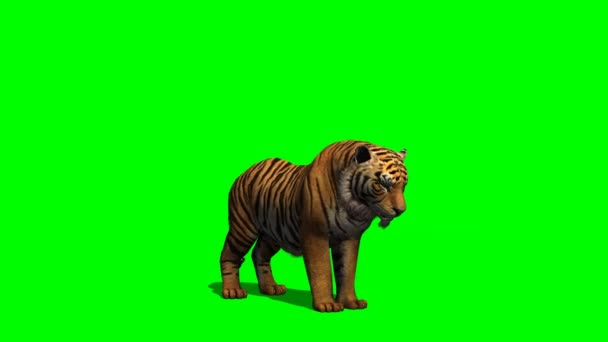 Tiger eats on green screen