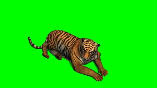 Bengálský tygr ležící