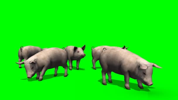 Pigs standing in a group