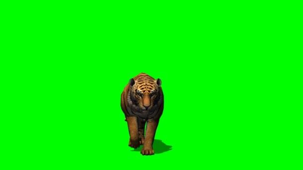 Tiger walking on green screen
