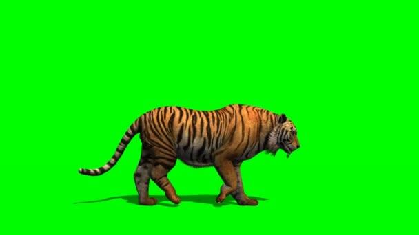 Tygr kráčí po zelené obrazovce