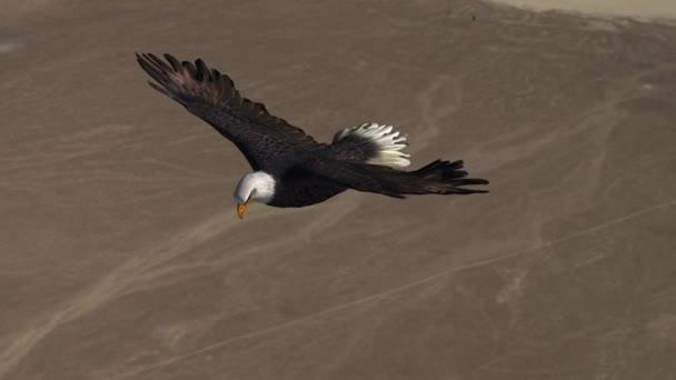 bald eagle in volo