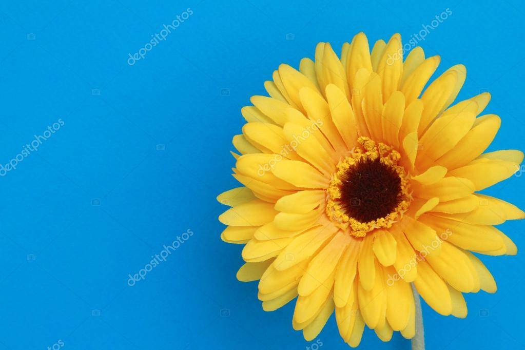 Beautiful daisy gerbera flower isolated on blue background
