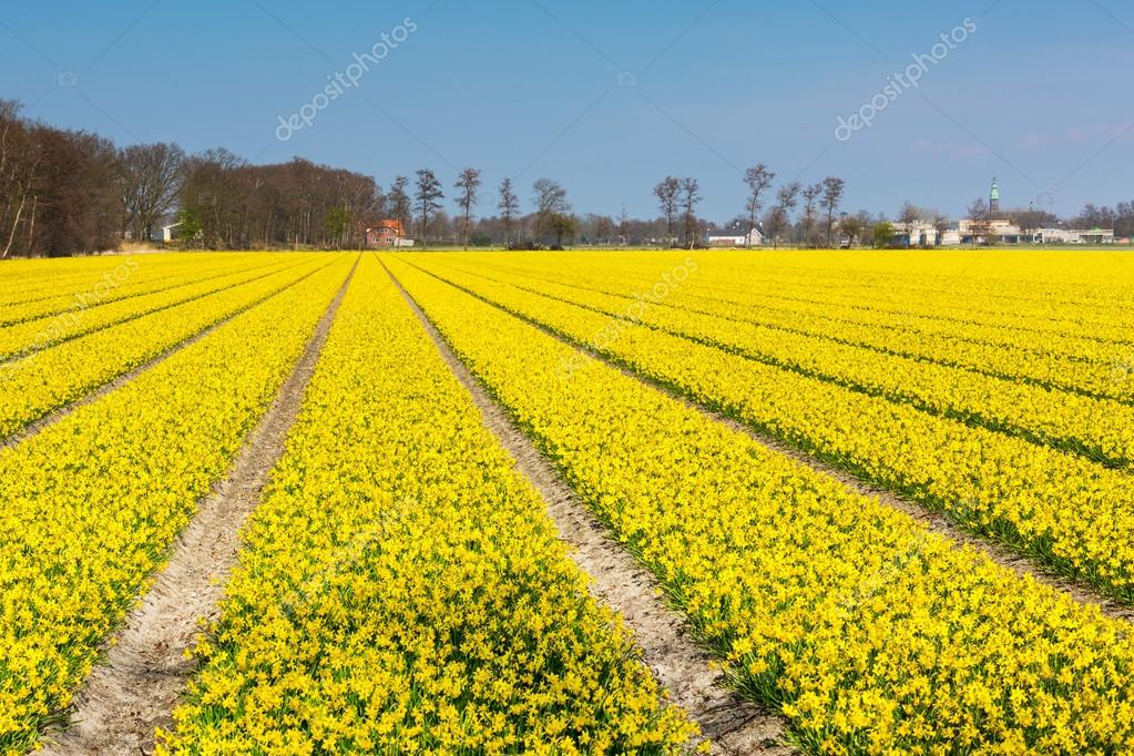 Campi Fiori Gialli.Field With Rows Of Yellow Daffodil Flowers Blooming In Spring