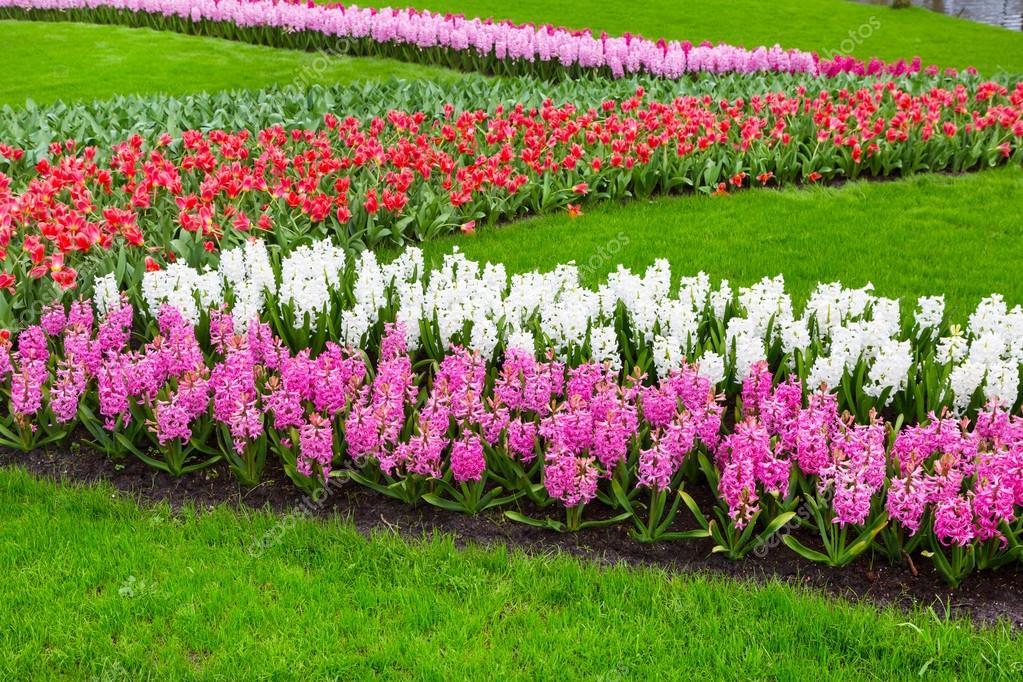Flor de Flores Jacinto, colores de tulipanes en el jardín de ...