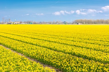 Field with rows of yellow daffodil flowers blooming in spring, house, blue sky