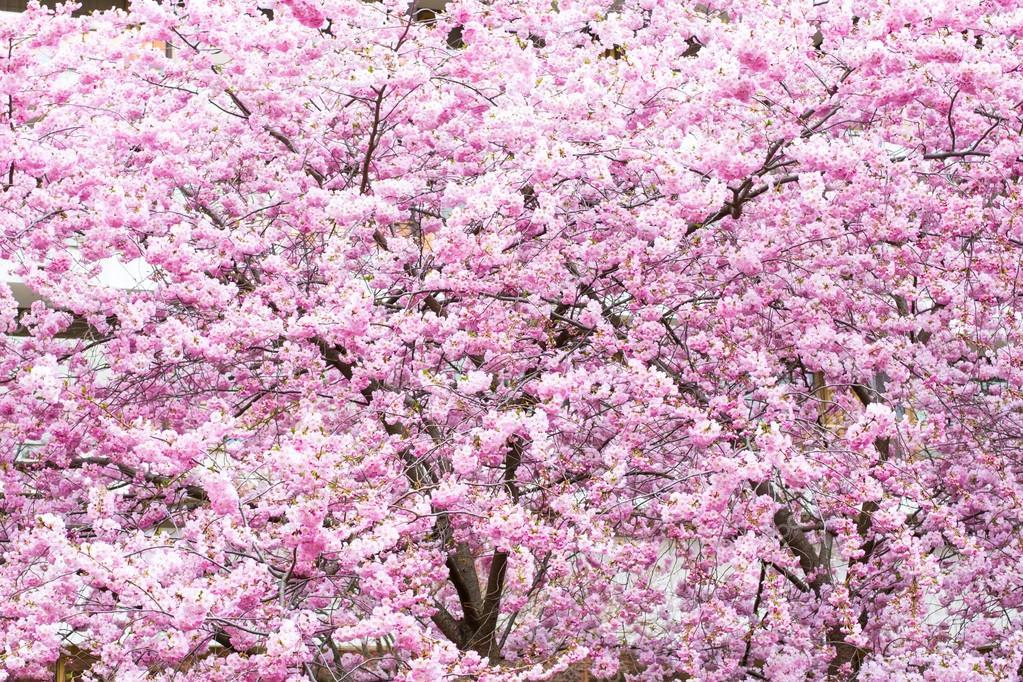 Beautiful Pink Cherry Blossom Sakura Flowers Background Stock