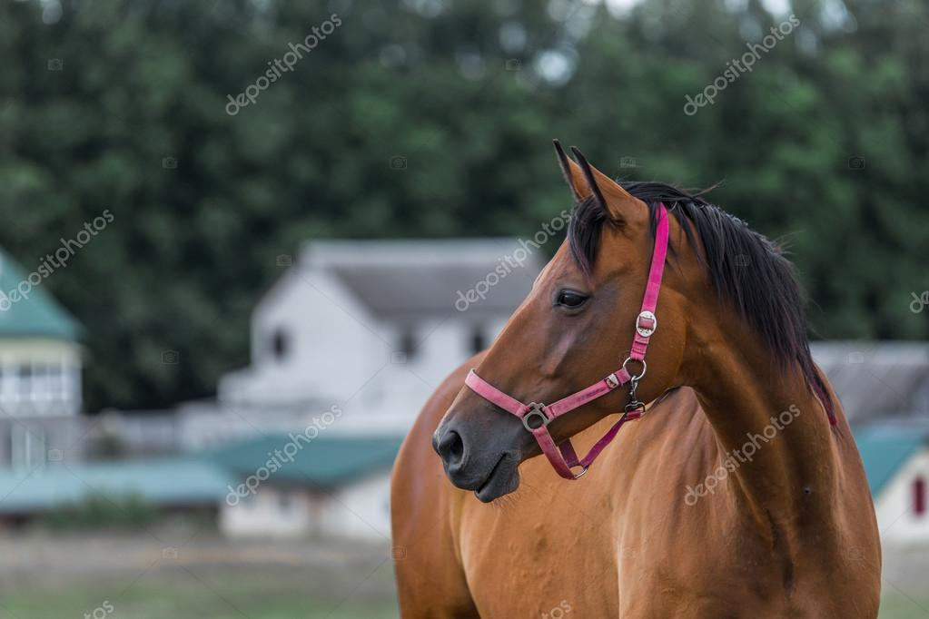 Portrait of nice quarter horse