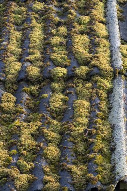 Old asbestos cement sheets covered with green moss