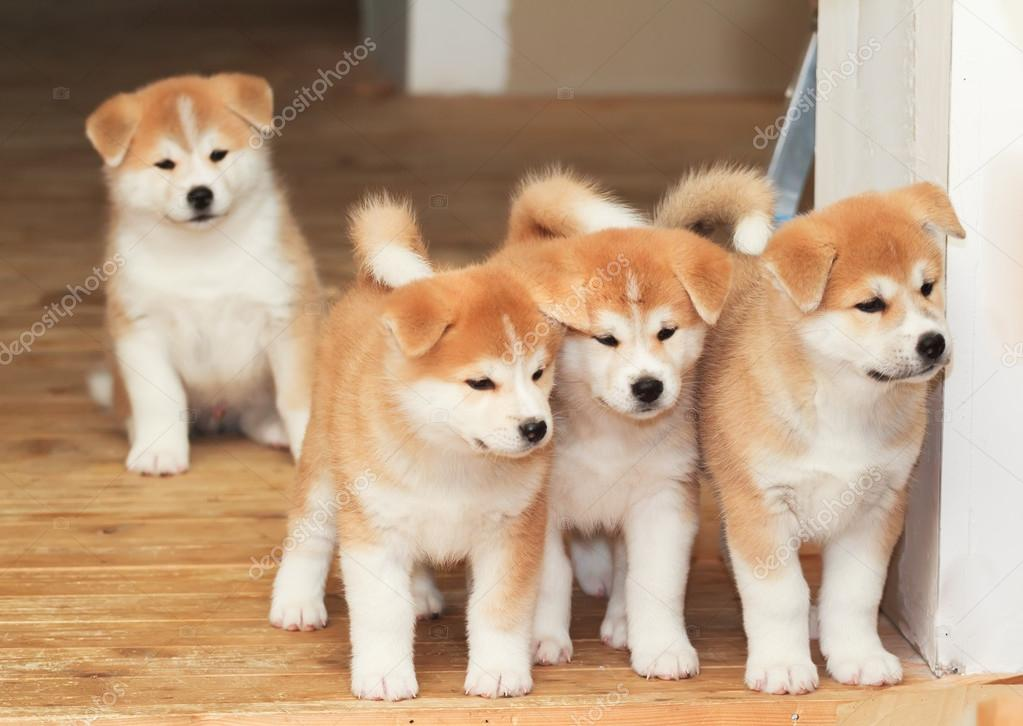 vier pups van japanse akita-inu ras hond — stockfoto © newrock555
