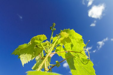 Appearing of flower buds on grape vine young shoots