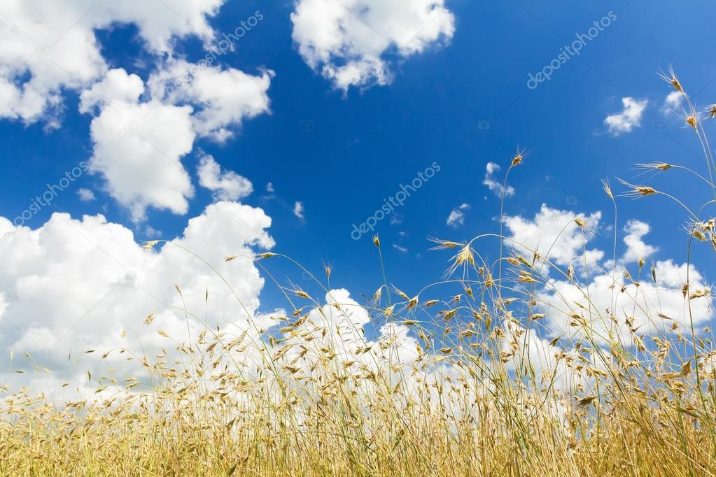 Cumulus clouds on aero blue sky over ripening oat cereal ears field