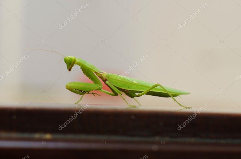 Portrait of Asian mantis