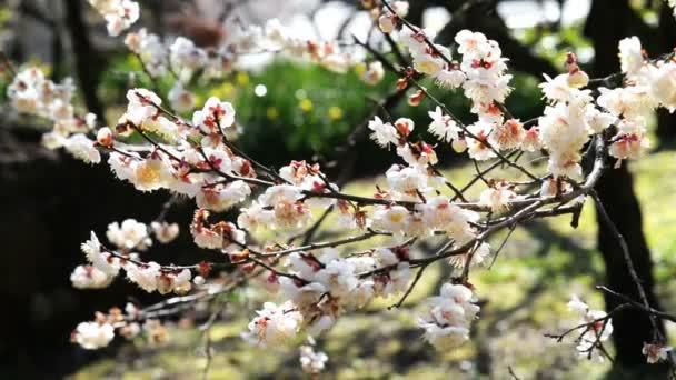 Růžové květy Ume a slivoní