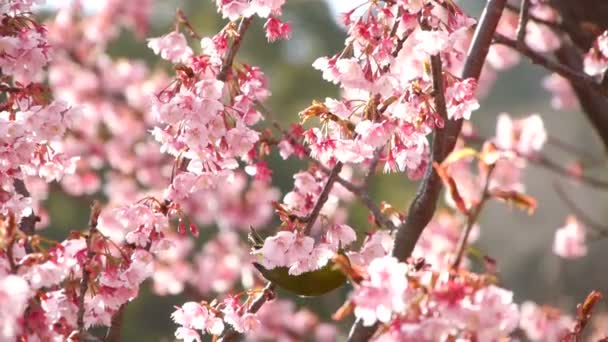 Nightingale pták na Pink Cherry Blossom Tree