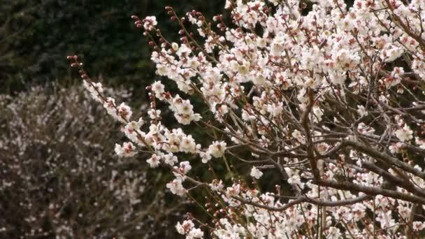 Bílé květy Ume a slivoní