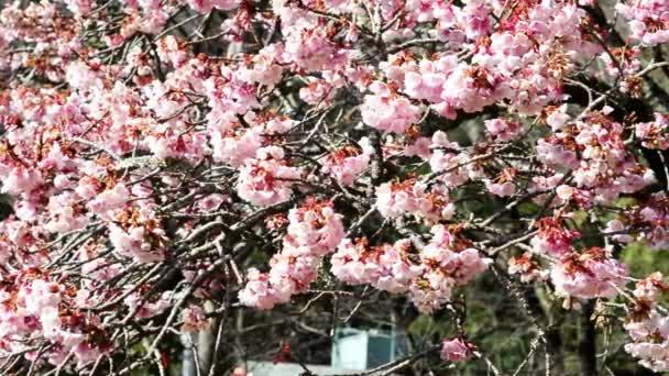 růžový třešňového květu stromů