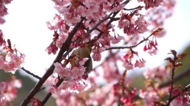 Nightingale pták na Pink Cherry Blossom Tree