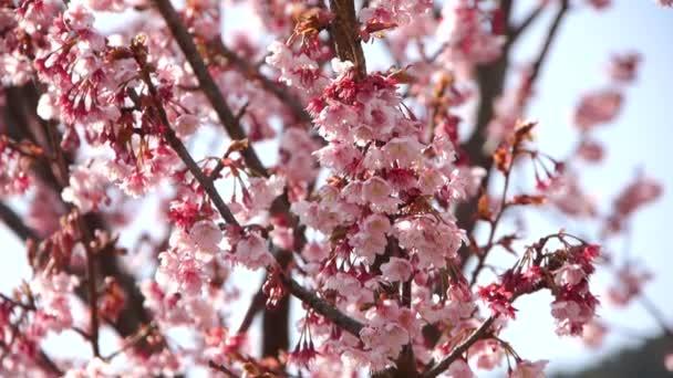 růžový třešňový květ strom