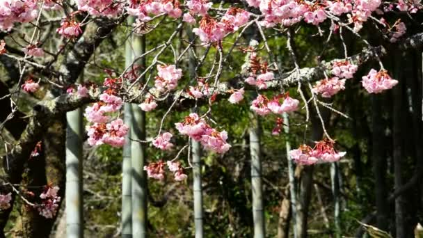 Pink Cherry Blossom Trees and Bamboo