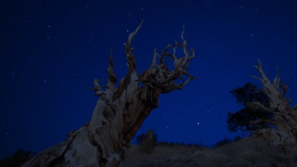 Twilight Sky over Ancient Bristlecone Pine Tree