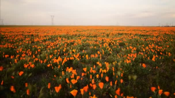 divoký Kalifornie mák v Antelope Valley