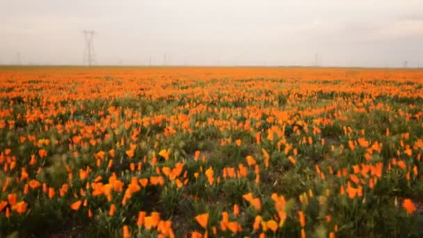 wild California Poppies in Antelope Valley