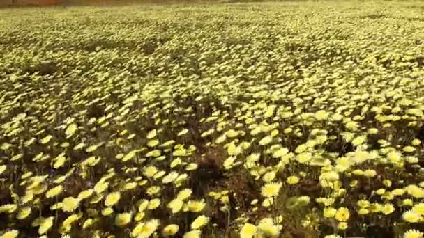 carpet of wild desert dandelions in Lancaster