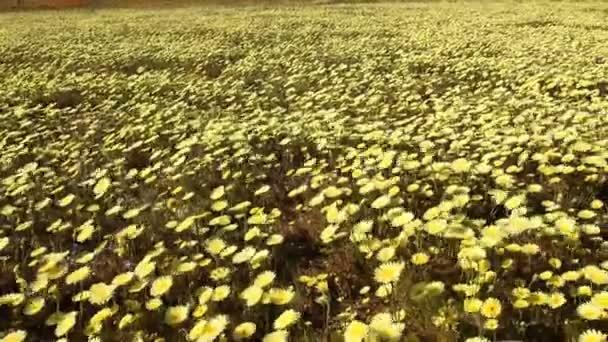 carpet of wild desert dandelions in Lancaster