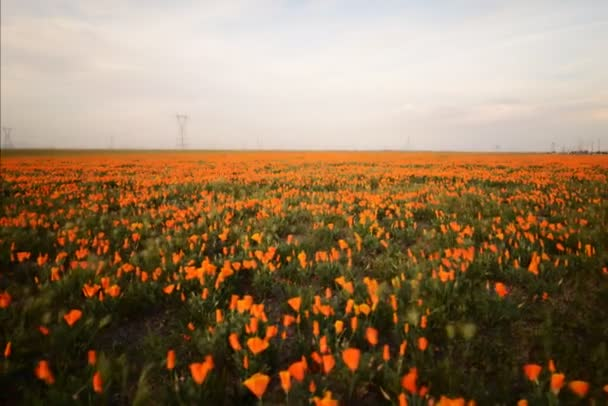 wild California Poppies in Antelope Valley