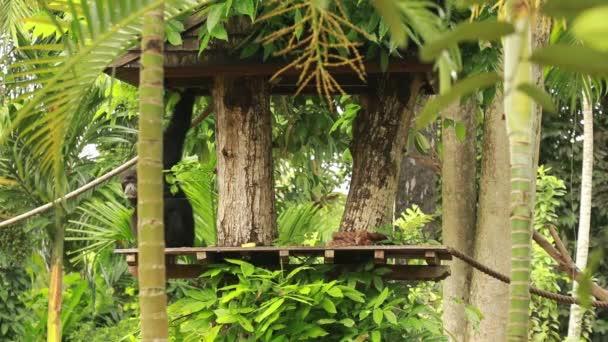 Fehér arc gibbons játszik és pihentető fák a dzsungel hátterében
