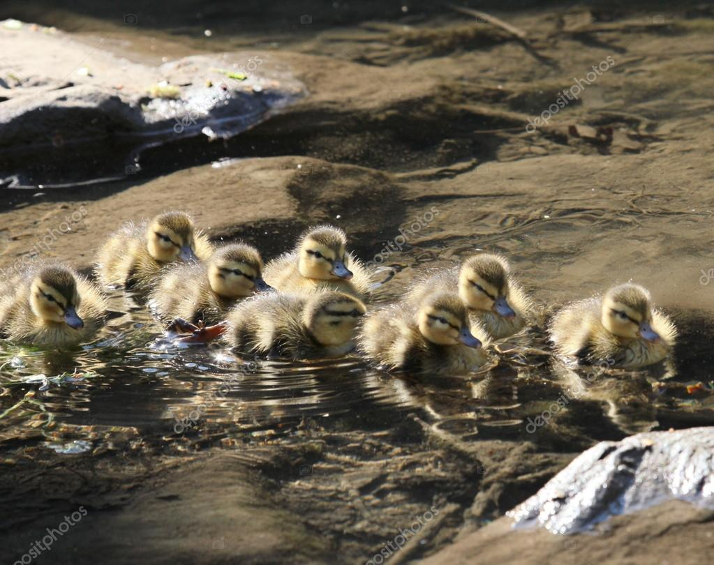 lots of ducklings — Stock Photo © chiptape #84389814