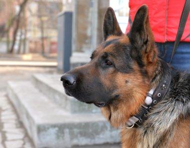 Head of a dog German shepherd
