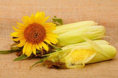 Autumn harvest of corn