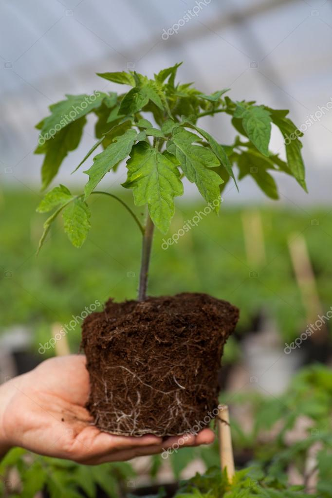 Human hands holding young plant with soil over blurred nature background. Ecology World Environment Day CSR Seedling Go Green Eco Friendly