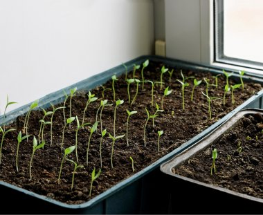 Little sprouts eggplant.