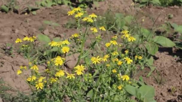 Sárga virágok ringatóznak a könnyű szélben. Tavaszi rét, mező. Kiváló minőségű teljes HD felvételek.